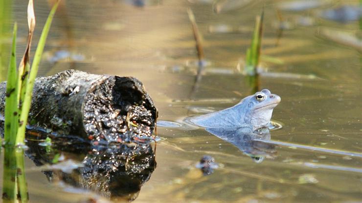 Żaby zrobiły się niebieskie. Za sprawą wzrostu temperatury