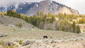 USA. Niedźwiedź zaatakował turystę w Yellowstone