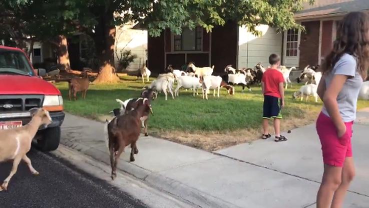 118 kóz uciekło z hodowli. Zaczęły obgryzać trawniki przy okolicznych domach